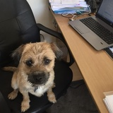 Ted (Border Terrier)
