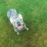 Stitch (French Bulldog)