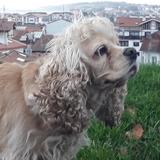 Lola (Cocker Spaniel Americano)