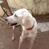 Dweezil (Persischer Windhund)