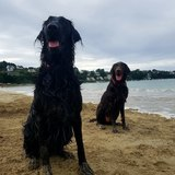Walter (Flat Coated Retriever)