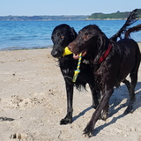 Edison (Flat Coated Retriever)