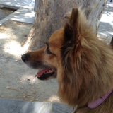 Drago (Perro de Pastor Garafiano)
