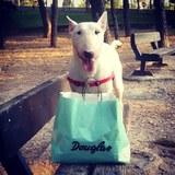 Neo (Bull Terrier)