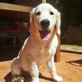 Lennon (Golden Retriever)