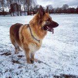Sheba (German Shepherd Dog)