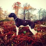 Storr (English Pointer)