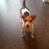 Millie (Jack Russell Terrier)