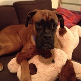 Ted (Boxer)