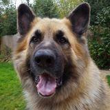 Chino (German Shepherd Dog)