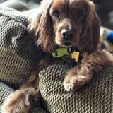 Rudy (American Cocker Spaniel)