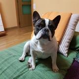 Bolo - Bulldog Francés