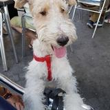 Otto (Fox Terrier De Pelo Duro)