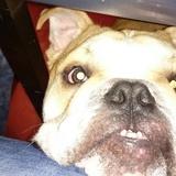 Ravi (Englische Bulldogge)