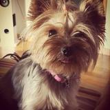 MIA - Yorkshire Terrier