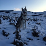 Dexter (Siberian Husky)