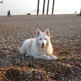 Samwise - German Shepherd Dog