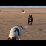 peppo - Staffordshire Bull Terrier