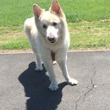 Snowii Baby (German Shepherd Dog)