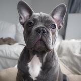 Molly (Französische Bulldogge)