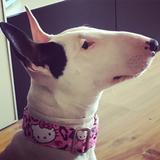 Diva (Bull Terrier)
