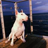 Violetta (Bull Terrier)
