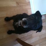 Sam (Jack Russell Terrier)