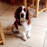 Louie (Welsh Springer Spaniel)