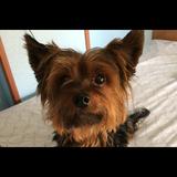 Maggie (Yorkshire Terrier)