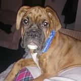 Dexter  (Boxer)