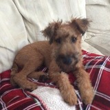 Rufus (Irish Terrier)