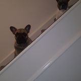 Hugo (French Bulldog)