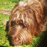 Oscar (Wirehaired Pointing Griffon)