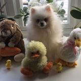SIMBA - Pomeranian