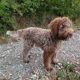 Bella (Wasserhund Der Romagna)