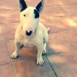 Bamban (Bull Terrier)