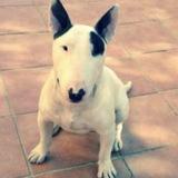Bambam (Bull Terrier)