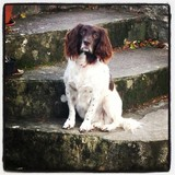 Callie (English Springer Spaniel)