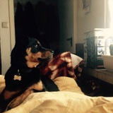 Amy (Rottweiler)
