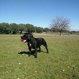 Boss (Staffordshire Bull Terrier)