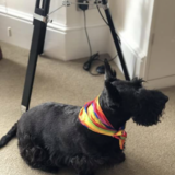 Shannon  (Scottish Terrier)