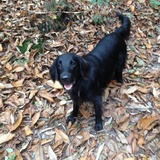 Bentley (Flat Coated Retriever)