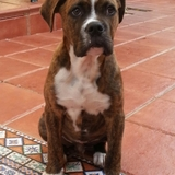 Mateo De Los Tarantos (Bulldog Español)