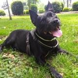 Mia (Staffordshire Bull Terrier)