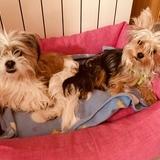 Son Tres Perritas, Dos Yorkis Y Un Cruze De Shih Tzu, Sora, Dana, Wendy  (Yorkshire Terrier)