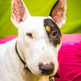 Nacho (Bull Terrier)