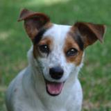 Rita - Jack Russell Terrier