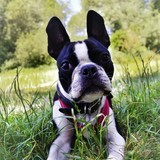 Roy (Boston Terrier)