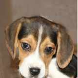 Max ( Beagle Harrier)
