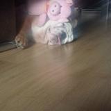 Kika (Bulldog Inglés)